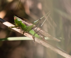 Short-winged meadow katydids were abundant, but the population was unusual in that nearly half the individuals were the long-winged variant.