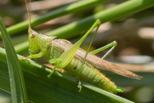 The green cerci and long wings identify this male slender meadow katydid.