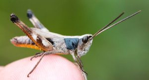 Most species were sand-soil singers I had encountered before, but this was my first sprinkled grasshopper.