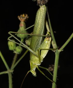 This Texas bush katydid, my first for LaPorte County, displayed the engaging personality of his kind.