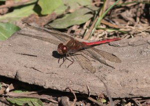 Autumn meadowhawks have been one example.