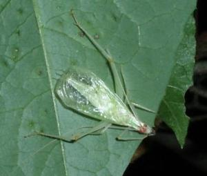 Broad-winged tree cricket