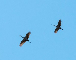 Sandhill cranes have begun to cross DuPage County on their way to Florida. They will continue for a couple more months.