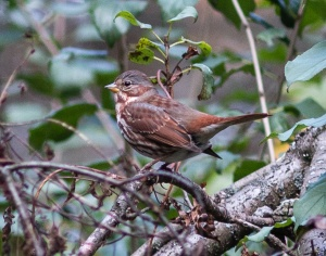 Fox sparrow, a species that nests well to the north of Illinois
