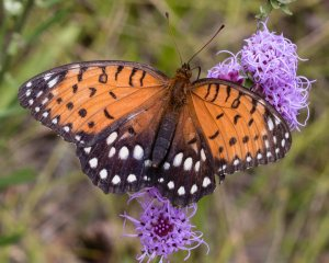 This regal fritillary fed from blazing star flowers at an eastern Illinois location far from this rare species' main Illinois range.