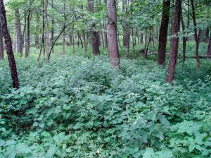 Significant portions of the forest recently have been cleared of invasive buckthorn and honeysuckle, and a first response has been a heavy growth of white snakeroot, a native forest annual.