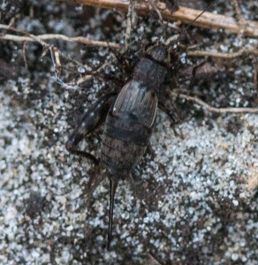 Here is a female spotted ground cricket. The mottled, spotted pattern especially of her abdomen is a source of the name.