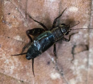 This male spotted ground cricket is missing a hind leg, possibly the result of a battle with another male. The yellowish rims around the compound eyes are a prominent feature of this generally brown species.
