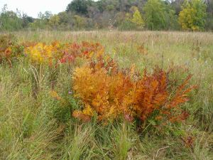 At this point in the autumn, the fen is beautiful with patches of royal ferns and poison sumac in full fall color.