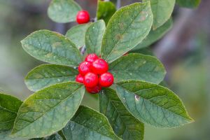 Winterberry hollies provided delightful spots of color.