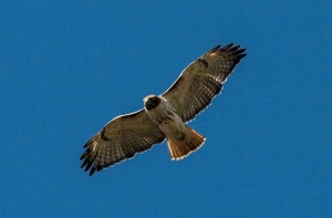 A pair of adult red-tailed hawks frequently patrols the sky overhead.
