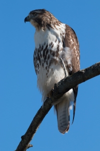 This juvenile red-tail was tolerated or unnoticed by the residents as it perched near the preserve's boundary on Sunday.