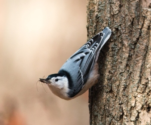 On Saturday this white-breasted nuthatch caught a harvestman that did not find a sufficiently secure bark crevice.