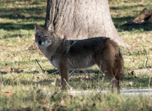 One day when I was the preserve's only human visitor, I saw one of St. James Farm's coyotes. The fat belly and good coat indicate that this animal is a successful hunter.