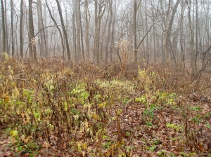 This area has been cleared of invasive honeysuckles and other shrubs. Part of it is young second growth with a few clearings where perennial herbaceous plants are growing.