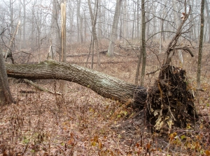 A morainal depression held a huge fallen red oak.