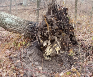The last roots that were holding the tree up still show the relatively fresh color where they fractured.