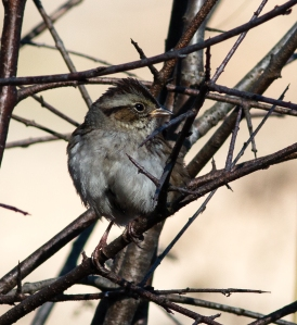 Most migrants, including this swamp sparrow, have moved on south.