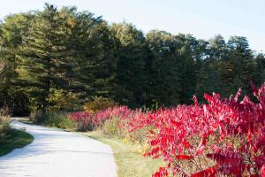 I liked this October scene of sumacs contrasting with pines.