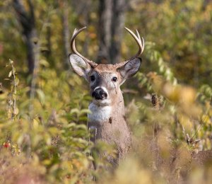 This buck checked me out as I explored a remote area of Hidden Lake Forest Preserve at the end of October.
