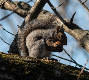 The classic pose of a gray squirrel gnawing into a walnut at Fullersburg Woods in November.