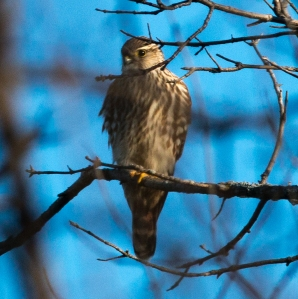The highlight of my group's Christmas Bird Count was a merlin at West Branch Forest Preserve.