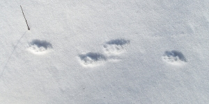 Skunk tracks in the snow!