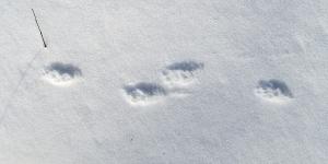 Skunk tracks in the snow!