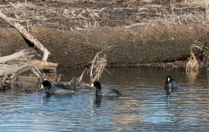 American coots have been a constant presence in the stream.