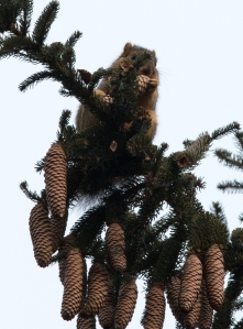 Fox squirrels have been exploiting the abundant Norway spruce cones in the plantation.