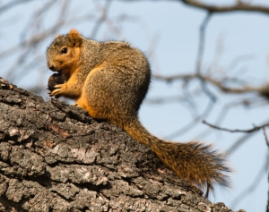 Fox squirrels enjoyed the occasional sunny days, and feasted on the abundant walnuts.