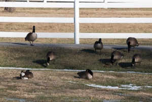 Canada geese in DuPage County are grazers in winter.