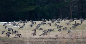 Part of a large goose flock feeding on a SJF lawn.
