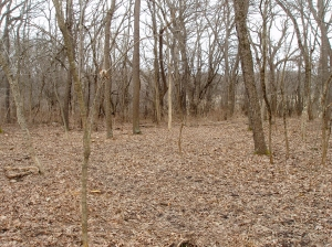 Here you can see that beyond the clearing, the forest is choked with invasives. That is what much of the area looked like before the project began.