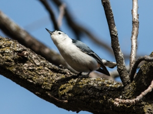 White-breasted nuthatches are common in this preserve's forests.