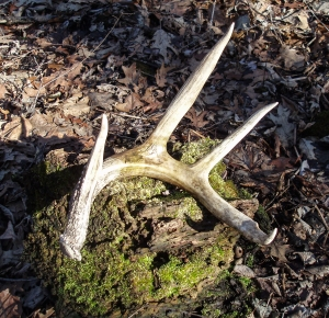 A recently shed left antler from a whitetail deer.