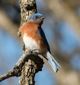 This male eastern bluebird seemed to be staking a claim in a corner of the grounds adjacent to a pair of bluebird houses.