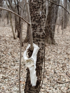 The bone has been on this buckthorn twig long enough for the twig to grow several long branches.
