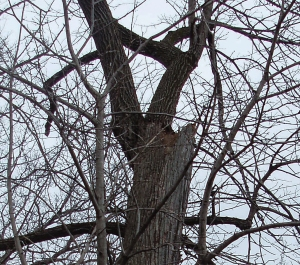 Another example of a topped tree that could host a nest.