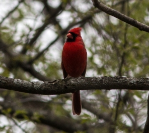 Cardinals have been singing since January, as they are the songbirds most sensitive to day length change.