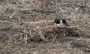 A second pair of geese chose St. James Farm for nesting, but their site is a risky ridge beside the stream, with water on each side but reachable from either end by a coyote.