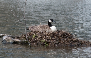 Canada goose incubating on March 31.