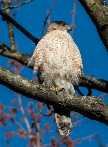 Cooper's hawks occasionally called in wooded areas, considering whether to nest at St. James Farm.