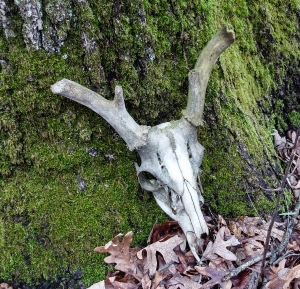 Someone found an old deer skull and propped it against a trailside tree.