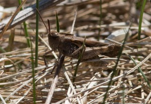 Male green-striped grasshopper photographed in an earlier year.