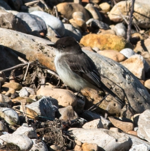 Even an eastern phoebe was forced to a ground-foraging interval.