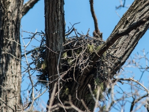 The preserve's red-tailed hawks completed their nest and were good to go.