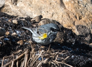 The preserve's first yellow-rumped warbler of the year also searched for prey there, though such bank foraging is a common practice for that versatile species.