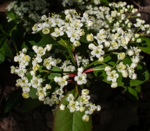Black haw is a native Viburnum.