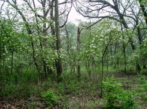 Blooming black haws are prominent in the forest area cleared of invasive shrubs this past winter.